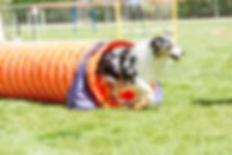 Dog in an agility competition set up in