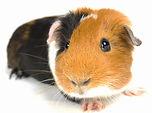 guinea pig actor