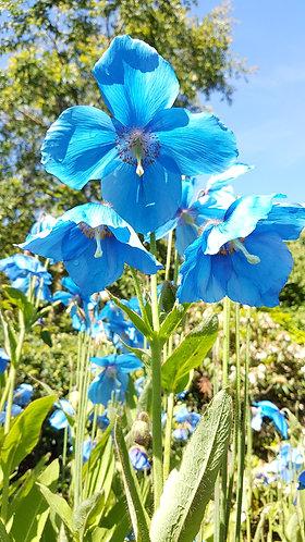 Meconopsis 'Lingholm' (blue poppy)