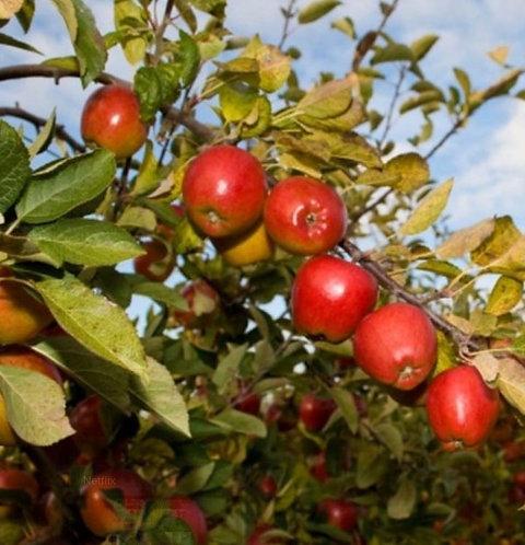 Malus (Apple) 'Braeburn'