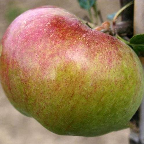 Malus (Apple) 'Howgate Wonder'