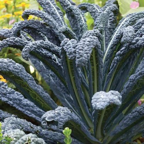 Black Kale 'Tuscan'