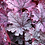 Thumbnail: Heuchera 'Palace Purple'