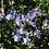 Thumbnail: Rosemarinus off. prostratus