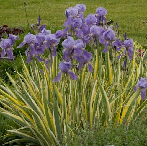 Iris pallida variegata