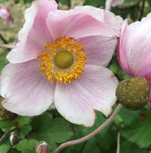 Anemone 'September Charm'