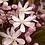 Thumbnail: Clematis armandii 'Apple Blossom'