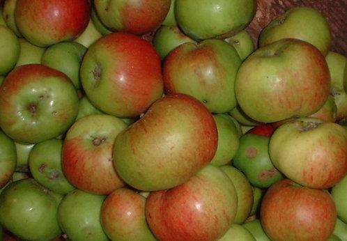 Malus (Apple) 'Bramley'