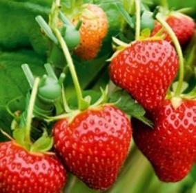 Strawberry Elsanta