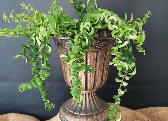 Lipstick Plant (aeschynanthus twister)