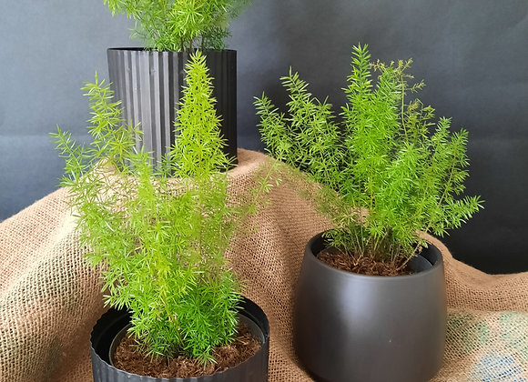 Foxtail Fern ( asparagus densiflorus)