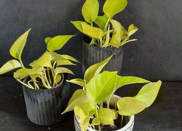 Neon Pothos (Epipremnum Pinnatum Neon)