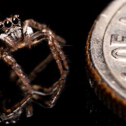 Spider size