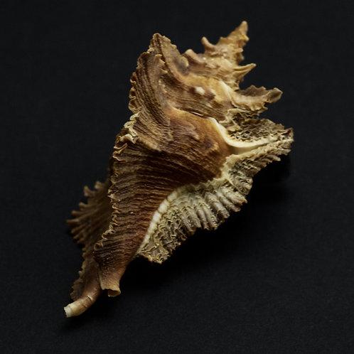 Murex Acanthopterus