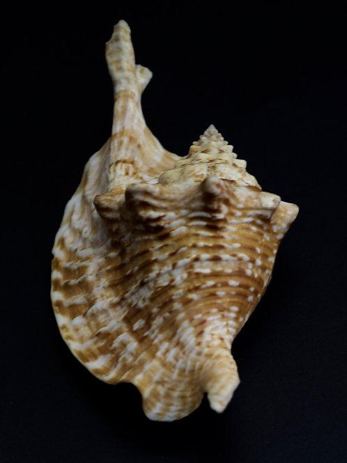 Strombus Gallus
