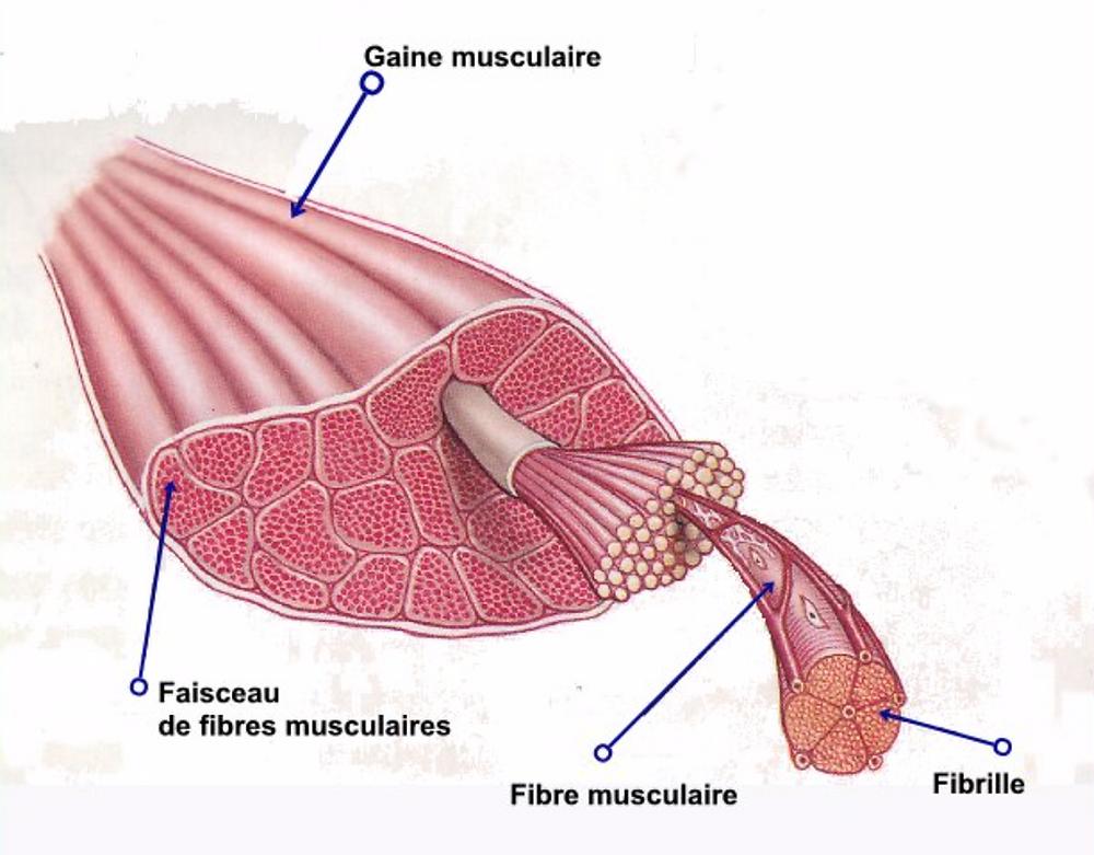 schéma muscle
