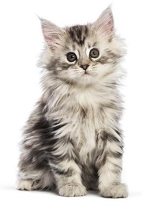 Fluffy kitten.jpg