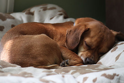 Sleeping Dachshund.jpg