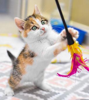 Kitten in foster program.jpg