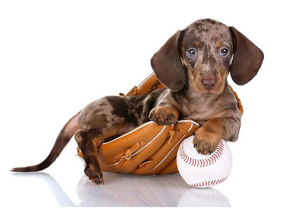 Dachshund with baseball.jpg