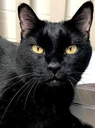 Shadow, adoptable cat at SPCA Florida