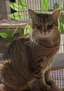 Arnie, adoptable cat at SPCA Florida