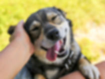 Happy dog being petted.jpg