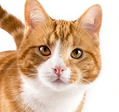 Adult orange cat