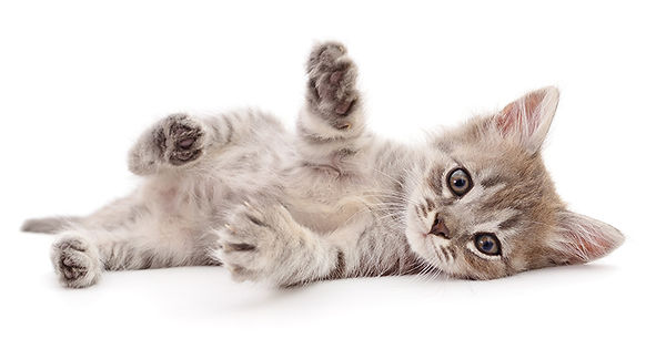 gray kitten.jpg