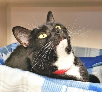 Noley, adoptable cat at SPCA Florida