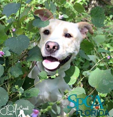 Scout - adoptable dog at SPCA Florida