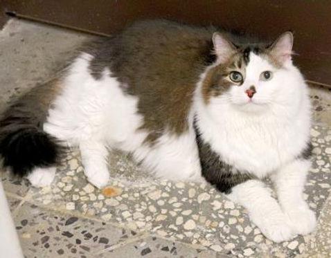 Miss Muffit, adoptable cat at SPCA Florida