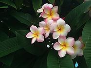 frangipani-677686__340.jpg