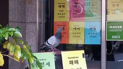 도시의 비둘기
