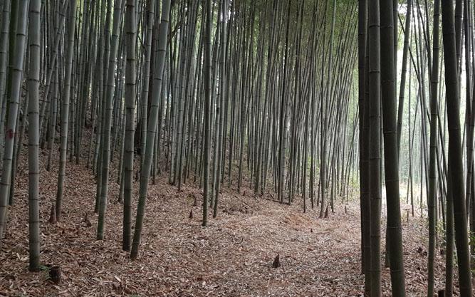 담양 대나무숲