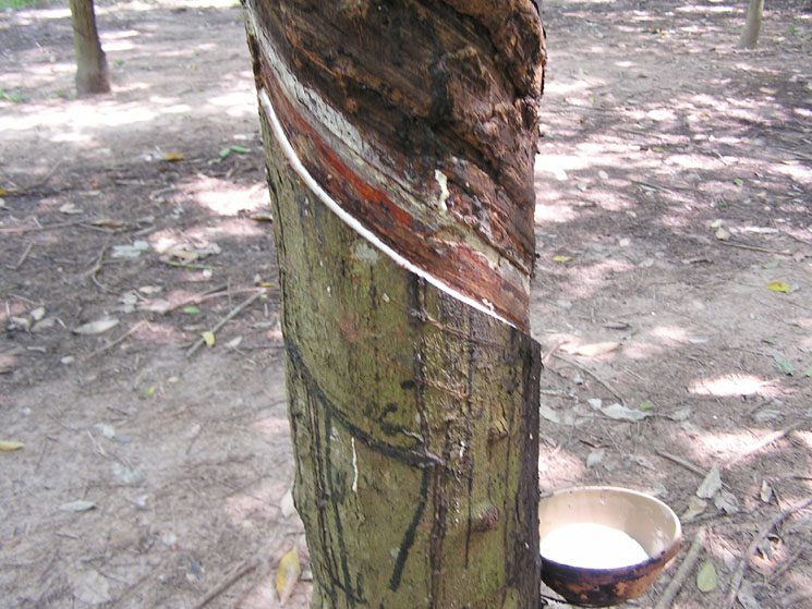 고무나무 액 추출