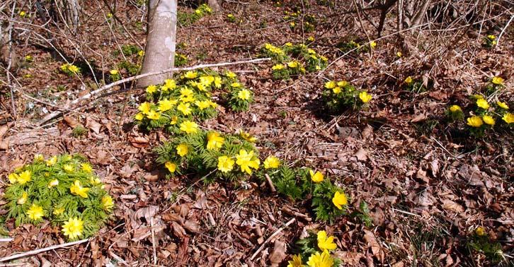봄-복수초