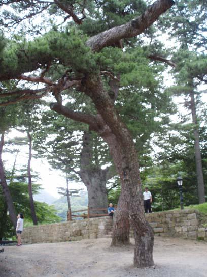 늙은 소나무