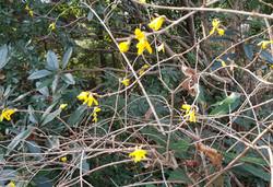 겨울의 개나리꽃