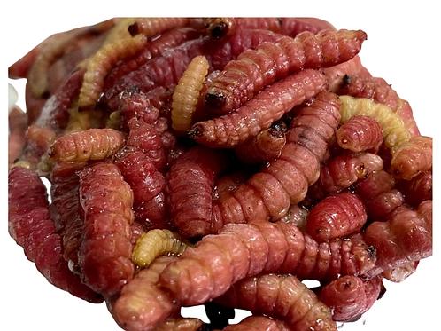 Gusano rojo de maguey  o chinicuil 1/2 kg