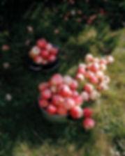 Piles of Apples.jpg