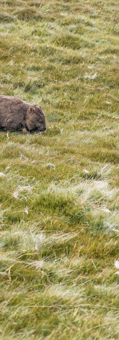 Wombats on the run