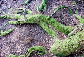 Roots.  Tarkine Wilderness Lodge