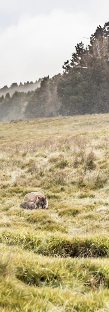 grazing wombats