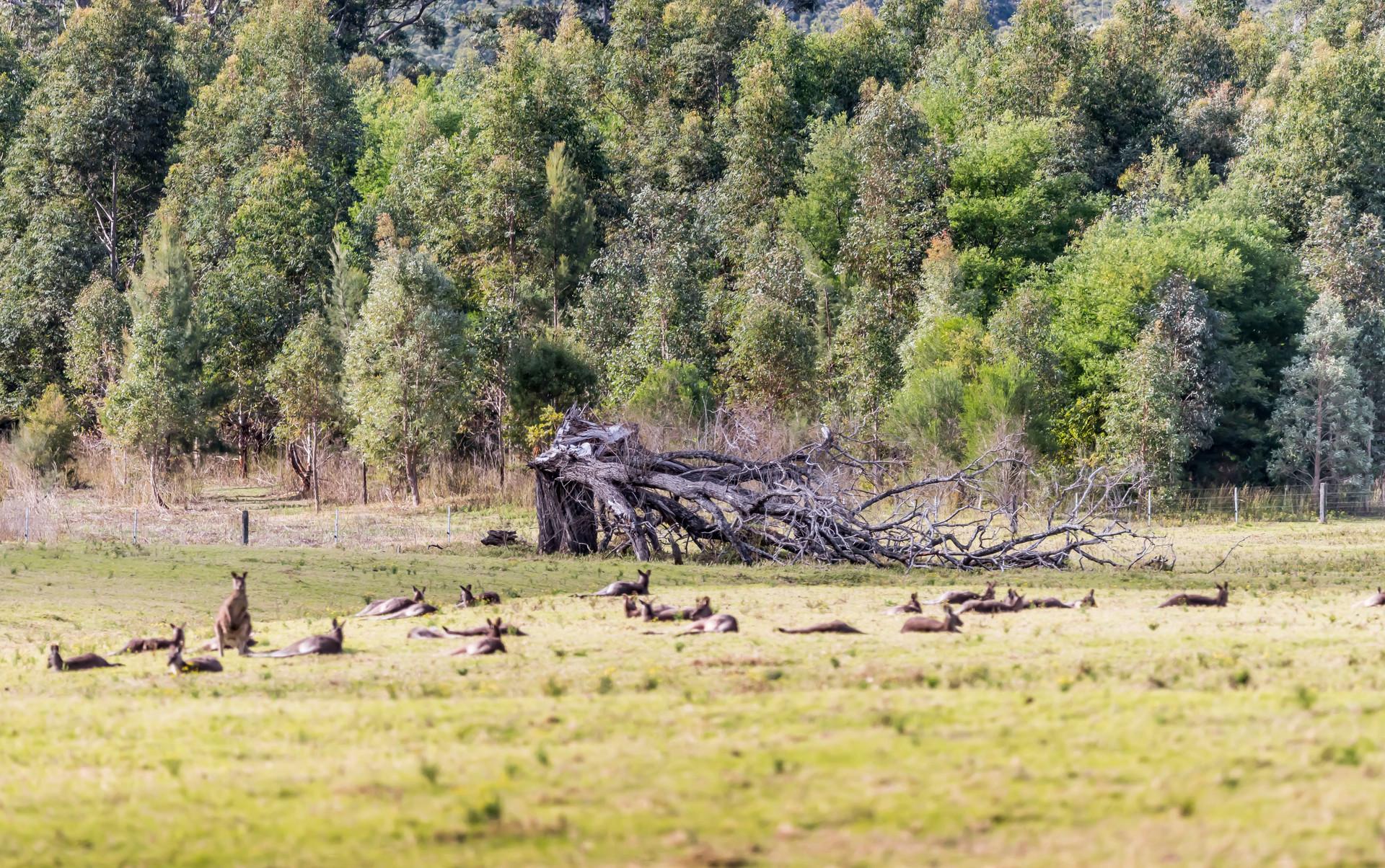 Kangaroo in landscape