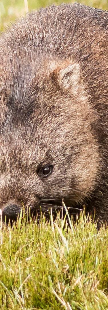 Wombat of Cradle Mountain