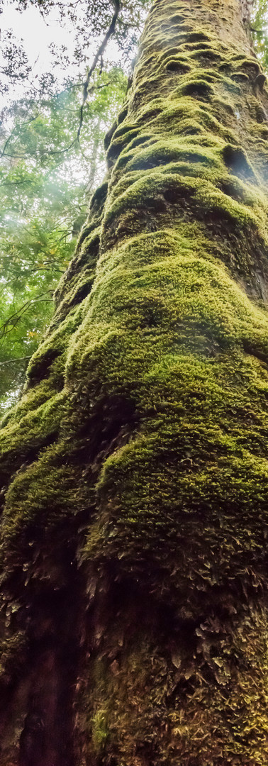 Trunks of moss