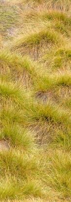 Carpets of button grass