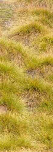 Carpets of button grass
