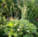 Hosta, flowering stage_edited.jpg